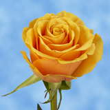 Golden Yellow Roses Choose Your Quantity From 50 to 250 Euforia Roses                                                              For Delivery to Indiana