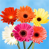 30 Stems of Assorted Color Gerbera Flowers