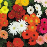 140 Stems of Assorted Color Mini Gerberas