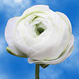 White Ranunculus Choose Your Quantity From 50 -150 Flowers                                                              For Delivery to Tennessee