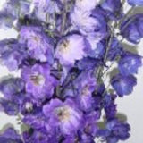 30 Stems of Assorted Color Delphiniums Hybrid                                                              For Delivery to Idaho