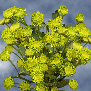 Green Button Pom Poms Choose Your Quantity From 360 - 1440 Blooms: 36 - 144 Chrysanthemums Flowers