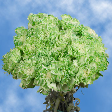 Green Carnations Choose Your Quantity From 1 to 400 Carnations