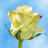 Creamy Green Roses Choose Your Quantity From 50 to 250 Jade Roses