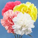100 Stems of Carnations Your Choice of Up to 4 Colors                                                              For Delivery to California