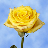 Yellow with a Touch of Red Roses Choose Your Quantity From 50 to 250  High & Yellow Roses