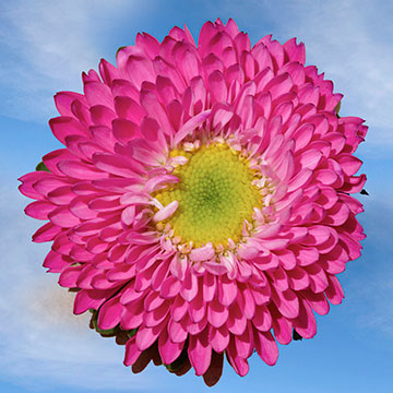 Hot Pink Aster Matsumoto Choose Your Quantity From 400 - 720 Blooms: 100 - 180 flowers