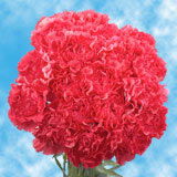 Hot Pink Carnations Choose Your Quantity From 1 to 400 Carnations