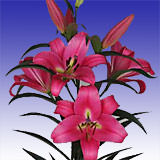 40 Stems of Hot Pink Asiatic Lilies 160 Blooms