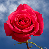 Strong Pink Roses Choose Your Quantity From 50 to 250 Pink Floyd Roses
