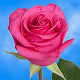 Bright Hot Pink Roses Choose Your Quantity From 50 to 250 Tanoshi Roses