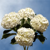 20 Stems of White Hydrangeas                                                              For Delivery to Michigan