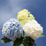 10 Stems of Assorted Color Hydrangeas
