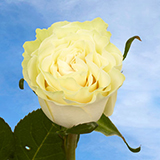 Creamy Ivory Roses Choose Your Quantity From 50 to 250 Mondial Roses                                                              For Delivery to Utah