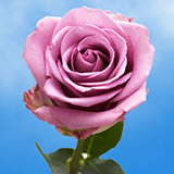 Lavender Roses Choose Your Quantity From 50 to 250 Cool Water Roses