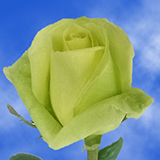 Light Green Roses Choose Your Quantity From 50 to 250 Amandine Roses