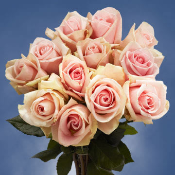 50 Stems of Light Pink/Peach, Fenice Roses
