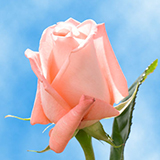 Light Pink with a Tone of Peachy Color Roses Choose Your Quantity From 50 to 250 Peckoubo Roses