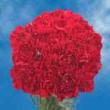300 Stems of Burgundy Carnations                                                              For Delivery to Wisconsin