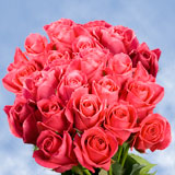 75 X Long Stems of Deep Hot Pink,  Hot Lady Roses