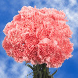 300 Stems of Pink Carnations                                                              For Delivery to West_Virginia