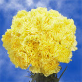 300 Stems of Yellow Carnations
