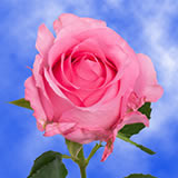 Champagne Pink Choose Your Quantity From 50 to 250 Sanoli Roses                                                              For Delivery to Arkansas