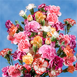 100 Stems of Assorted Color Spray Carnations 400 Blooms