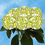 15 Stems of White with Green Hydrangeas                                                              For Delivery to New_Hampshire