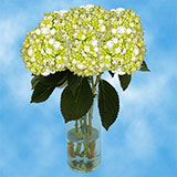 30 Stems of White with Green Hydrangeas