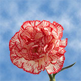 100 Stems of Peppermint Carnations