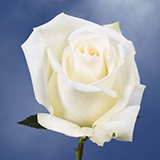 Off White with Creamy Yellow Center Roses Choose Your Quantity From 50 to 250 Mount Everest Roses                                                              For Delivery to New_Jersey