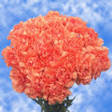 Orange Carnations Choose Your Quantity From 100 to 400 Carnations