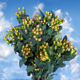 Orange Hypericum Flowers Choose Your Quantity From 240 - 1920 Blooms: 30  - 240 Flowers
