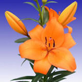 120 Stems of Orange Asiatic Lilies 480 Blooms