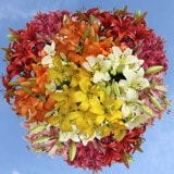 120 Stems of Assorted Color Asiatic Lilies 480 Blooms
