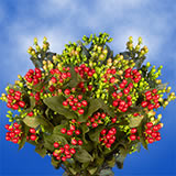 120 Stems of Assorted Color Hypericums 960 Blooms