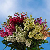 80 Stems of Assorted Color Stocks 640 Blooms