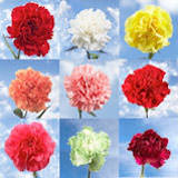 350 Stems of Carnations Your Choice of Up to 10 Colors