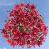 120 Stems of Hot Pink Asiatic Lilies 480 Blooms