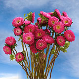 100 Stems of Hot Pink Asters Matsumoto 400 Blooms                                                              For Delivery to California