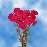 Hot Pink Spray Carnations Choose Your Quantity From 400 - 1200 Blooms: 100 to 300 Spray Carnations