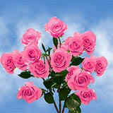 100 Stems of Hot Pink Spray Roses 350 Blooms