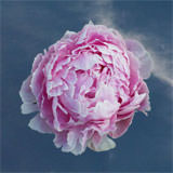30 Stems of Pink Peonies                                                              For Delivery to Tennessee
