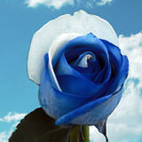 100 Blue and White Rainbow Roses