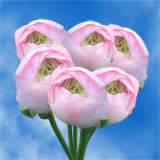 100 Light Pink Ranunculus                                                              For Delivery to Hawaii