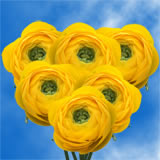 100 Yellow Ranunculus                                                              For Delivery to Arizona