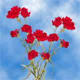 160 Stems of Red Spray Carnations 640 Blooms