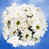 36 Stems of White Daisy Pom Poms 144 Blooms                                                              For Delivery to Colorado