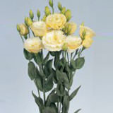 160 Stems of Yellow Creme Lisianthus 640 Blooms                                                              For Delivery to Hawaii